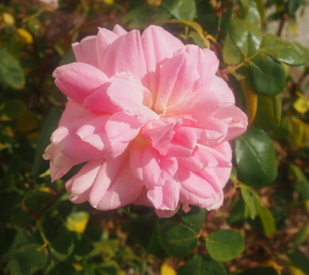 Grace Darling Rose